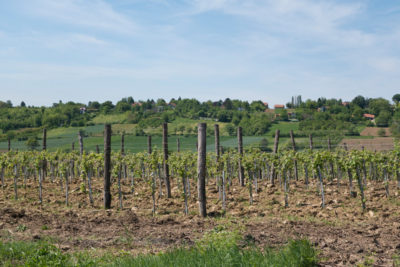 Vineyard of Irig