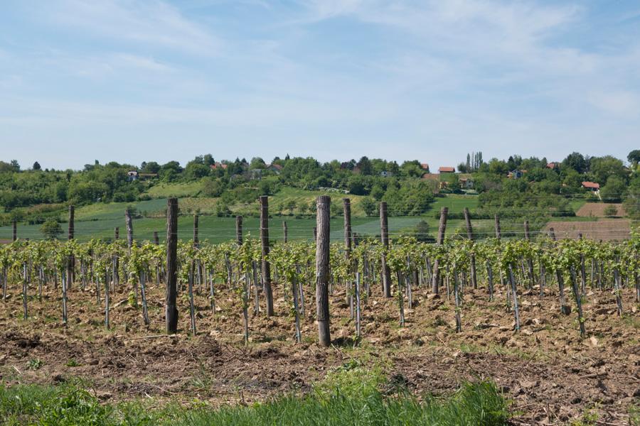 Vineyard of Irig